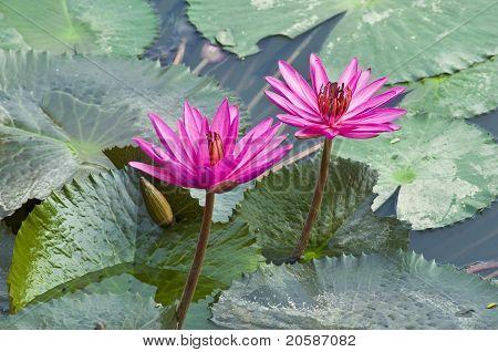 Pink Lotus Blooming .