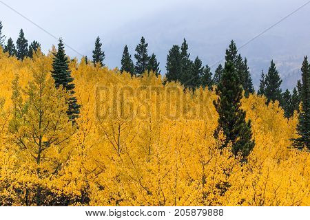 A grove of aspen trees with brilliant golden fall color and a few green conifer trees sprinkled through out with creeping fog in the background.