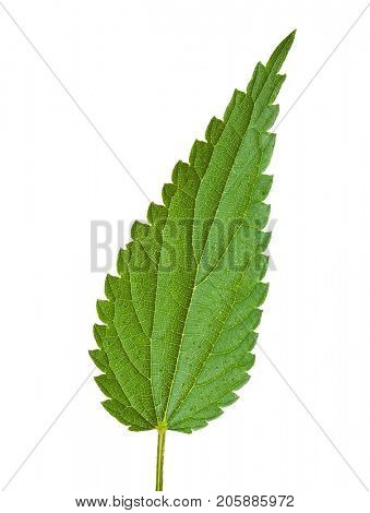 Fresh  leaf of stinging nettle ( Urtica dioica ) isolated   on white background.