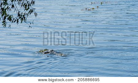 Cormorant As It Dives Under The Water