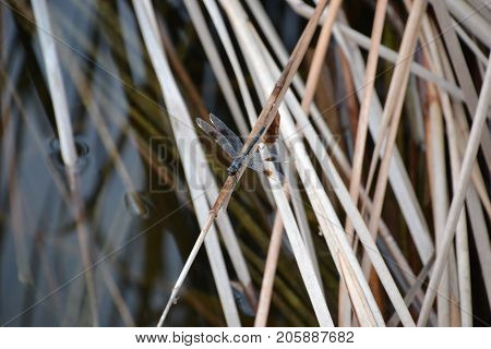 damselflies are a skinnier version of its cousin the dragonfly