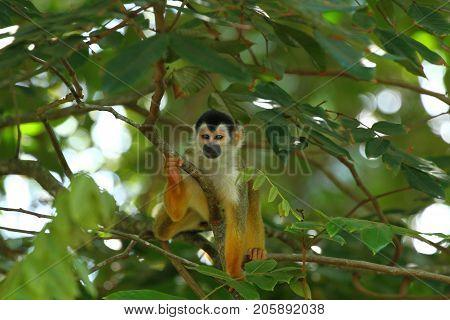 Central american Squirrel Monkey in Costa Rica Saimiri sciureus