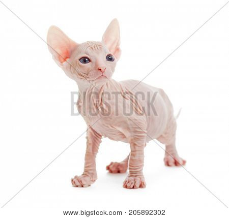 Donskoy sphynx albino hairless cat isolated on white