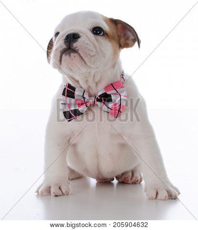 cute male bulldog puppy wearing bowtie one white background