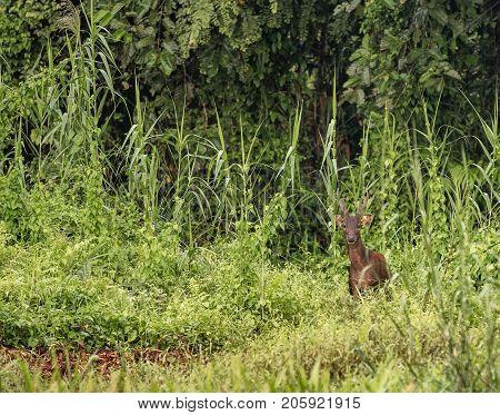 Male Sambar Deer In The Wild Jungle At Kinabatangan River, Malaysia