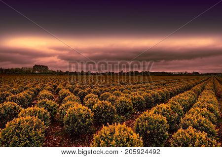Agriculture on land reclaimed from the See in Netherlands. Rows of plant on the land formed by dams in Holland at sunset