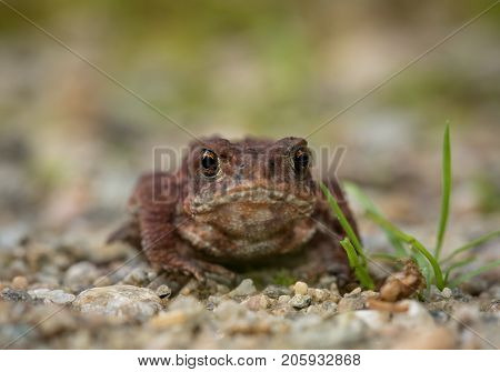 The common toad, European toad Bufo bufo sitting on sand and gravel, portrait, front view
