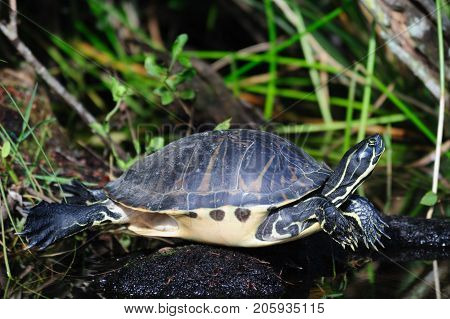 A Turtle sitting on a log in the Florida Everglades