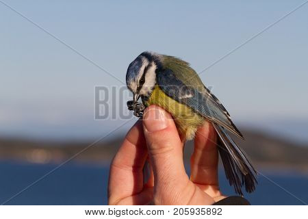 bird is held in a womans hand for ringing, or banding, in Jomfruland Bird Station Norway