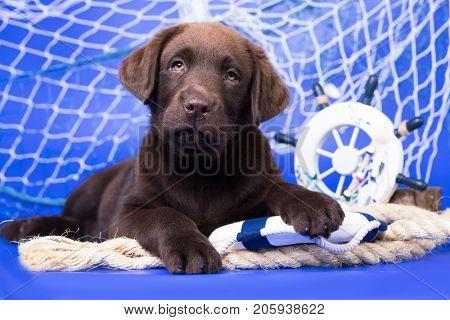 Labrador puppy, rescuer, jung