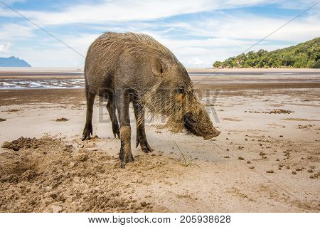 This wild bornean bearded pig, Sus Barbatus, a wild animal living in Bako national park, Kuching, Malaysia, Borneo. It digs in the sand with the snout, finding food.