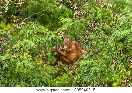This wild young male orangutan is climbing the rainforest trees to find red berries to eat. His mother was nearby but too shy to come towards me.