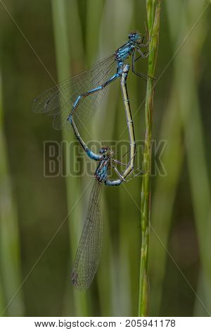 Northern damselfly - mating while sitting on straw with green natural background in Sweden