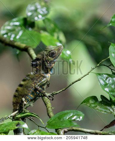 Chameleon sitting very still in tree branches in the rainforest in Mulu, Sarawak, Borneo