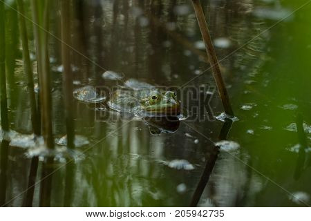 Green frog in the pond, Rana Esculenta, edible frog, is sitting in water between brown and green straws.