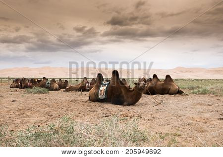 Landscape With Camel In Mongolia Desert Of Gobi
