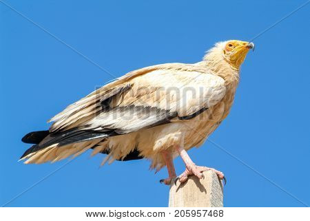 Egyptian Vulture (neophron Percnopterus) On Socotra Island