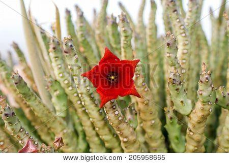 Socotran Caralluma Flower Of Cactus Plant On Socotra Island