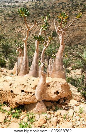 Bottle Treesbaobab At The Island Of Socotra