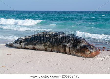 A stranded sperm whale lies dead on the beach of Socotra island Yemen
