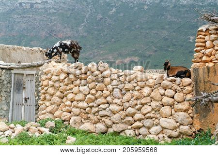 Two goats on a wall of a house at Socotra isalnd Yemen