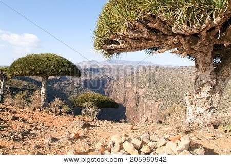 Dragon's Blood Tree At The Island Of Socotra