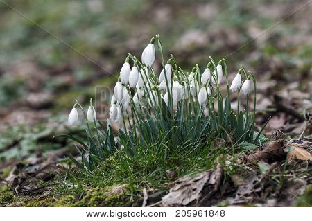 Snowdrops in a natural woodland setting with selective focus