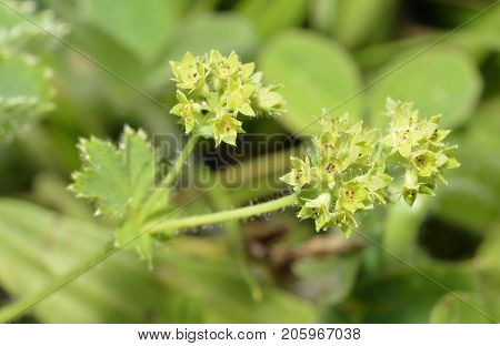 Lady's-mantle
