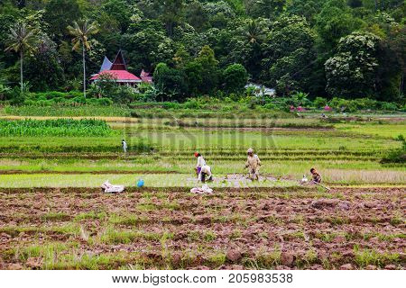 MEDAN, INDONESIA - SEPTEMBER 16,2017 : Villagers on the island are farming.of Samosir Island, Indonesia, Indonesian Most of them have a farming career.
