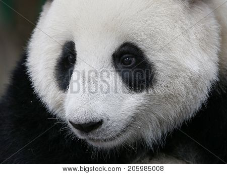 Close-up of Nuan Nuan (means warmth) the first Malaysian-born Panda cub is sitting at the Panda Conservation Centre in Kuala Lumpur Malaysia July 24 2017.