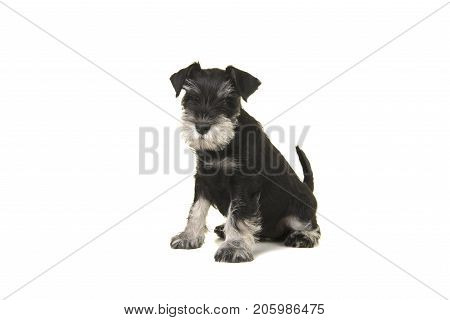 Black and grey mini schnauzer sitting isolated on a white background