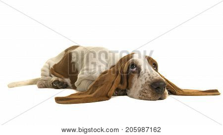 English basset hound puppy lying down on the floor with her ears flat on the floor isolated on a white background