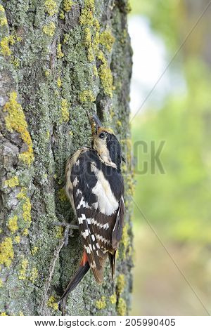 Great Spotted Woodpecker Perched On A Tree Trunk Vertically