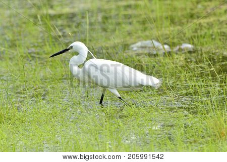 The Little Egret Is A Species Of Small Heron In The Family Ardeidae.