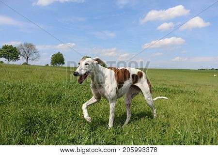 beautiful galgo is walking in the park