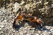 Crab on the pebbles. The sunny day. poster