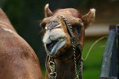 facial expression of the dromedary camel on green poster