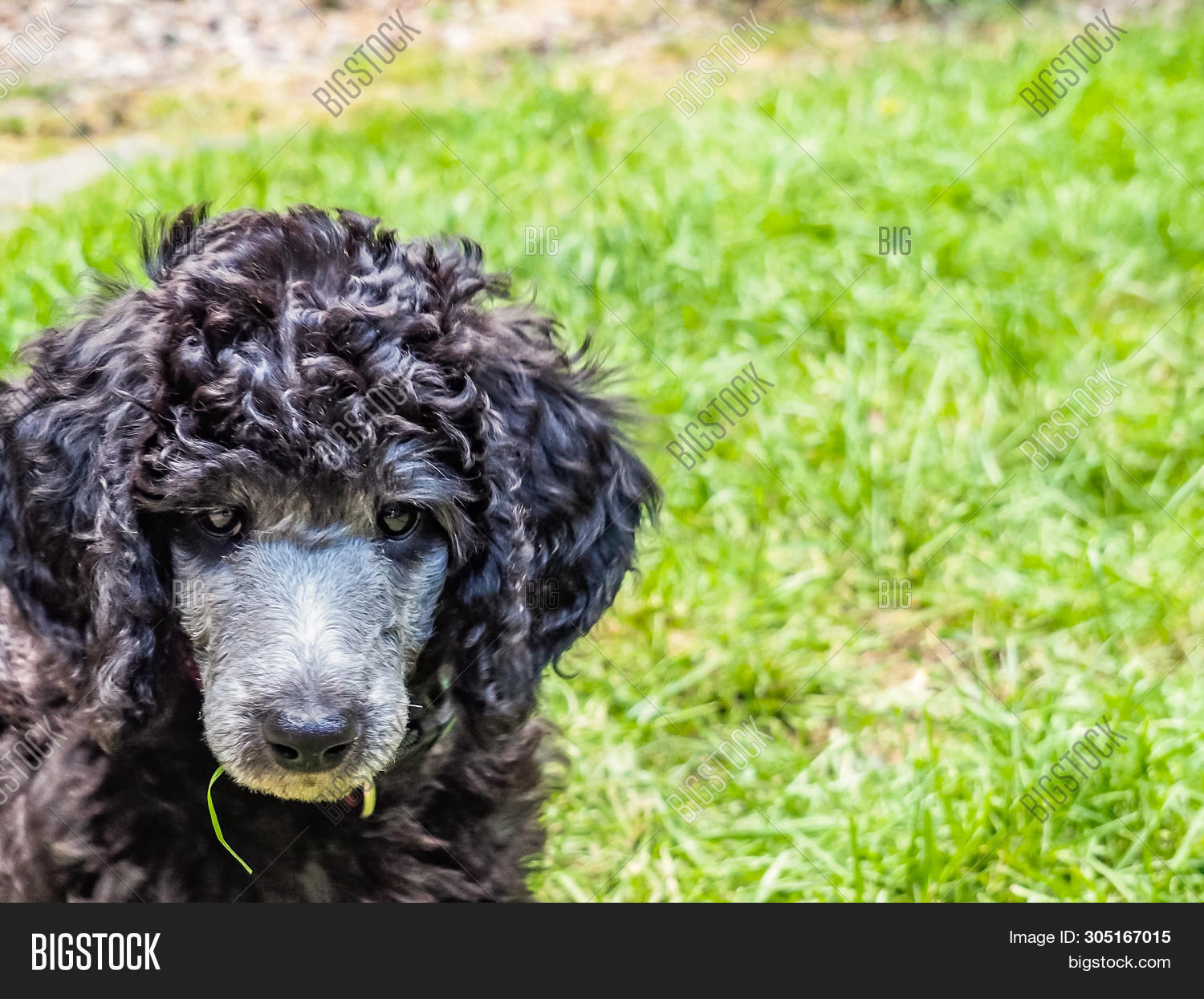 Standard Poodle Puppy Image Photo Free Trial Bigstock