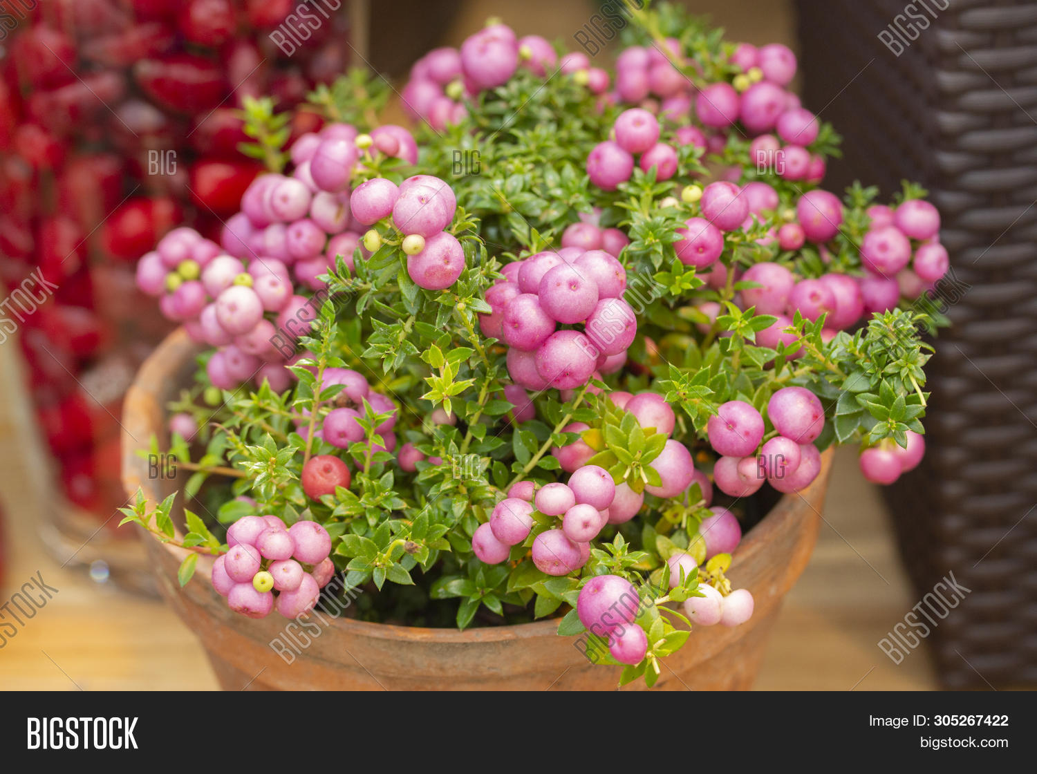 Pernettya Berries.Pernettya Mucronata Image Photo Free Trial Bigstock