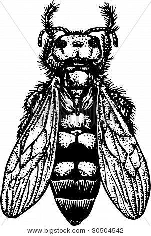 Wasp Sphex scolia maculata