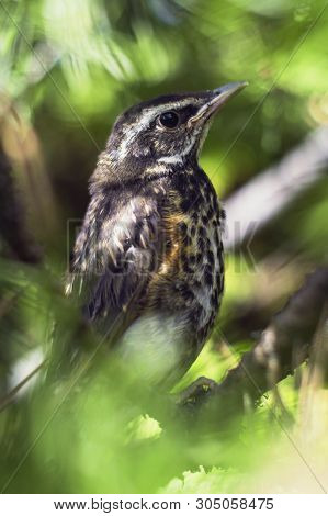 Little beautiful bird. Thrush. The redwing is a bird in the thrush family. Turdus iliacus poster