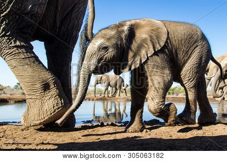 Asian Elephant, Or Indian Elephant (elephas Maximus) The Only Modern Species Of The Genus Asian Elep