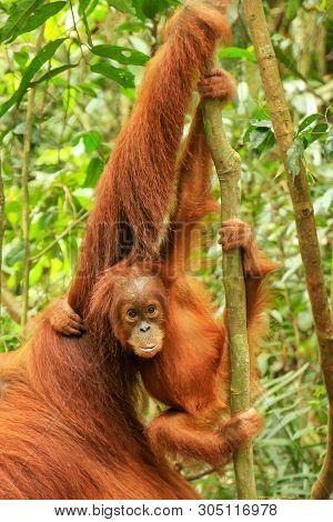 Baby Sumatran Orangutan Next To Its Mother N Gunung Leuser National Park, Sumatra, Indonesia. Sumatr