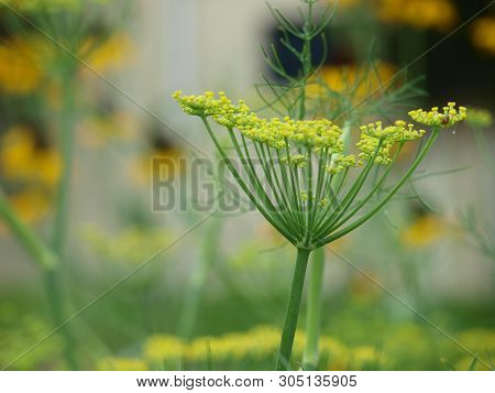 Dill Plant Blooms In A Garden Of Flowers. This Dill Is A Favorite For The Larva Of Butterflies.