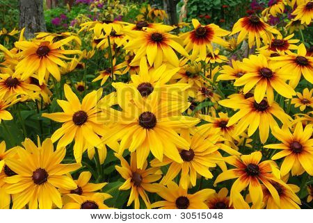 Perfect yellow gerbera's in blossom