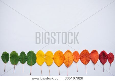 Multi-colored Leaves On A White Background. The Concept Of Changing The Seasons From Summer To Autum