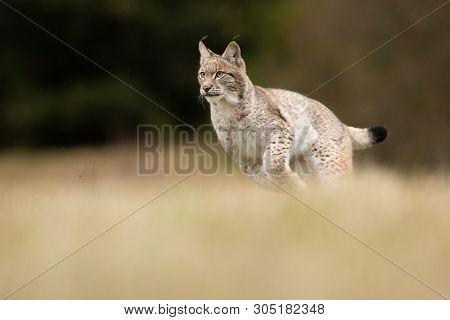 The Eurasian Lynx (lynx Lynx) A Young Lynx Junting On A Meadow. Autumn Action Scene With A Big Europ