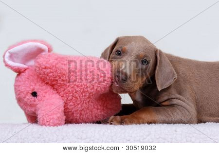 Doberman Pinscher Puppy with toy