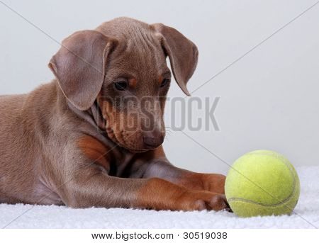 Doberman Pinscher Puppy With Tennis Ball