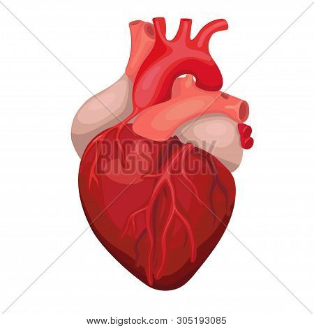 Heart Diagnostic Center Sign. Human Heart Cartoon Design. Anatomical Heart Isolated.vector Image.